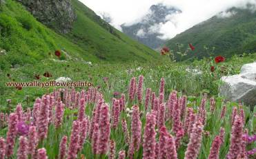 Bistorta Affinis at Pushpawati River bed inside Valley of Flowers. We at Blue Poppy Holidays generally trek 4 kilometers beyond this point.