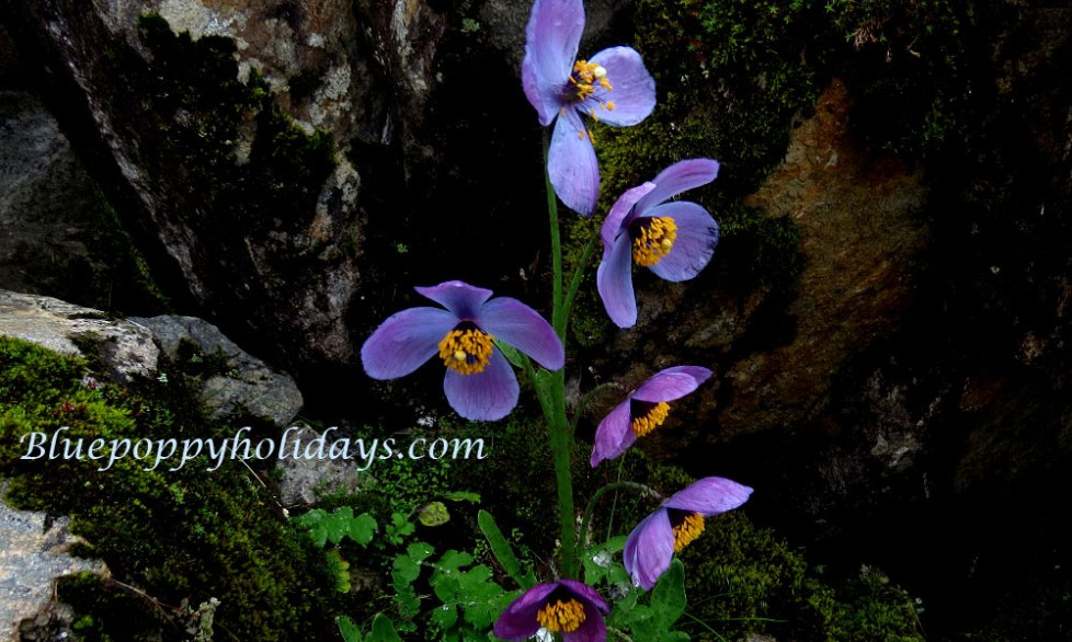 Another Color of Blue Poppy while coming back from Hemkund Sahib this is rare color
