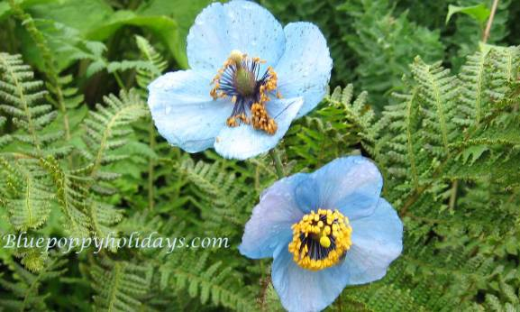 Blue Poppy clicked on the way to Hemkund Sahib When I clicked I was not knowing this flower is Blue Poppy
