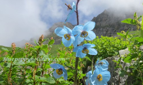 Blue Poppy near Hemkund Sahib