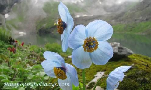 Blue Poppy on the bank of lake at Hemkund Sahib