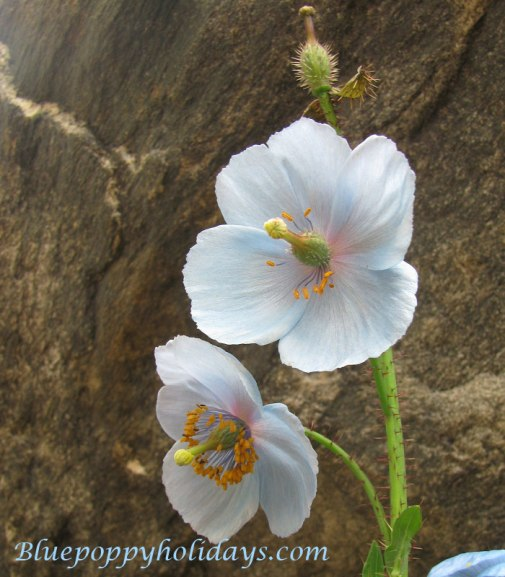 Light blue colored Blue Poppy