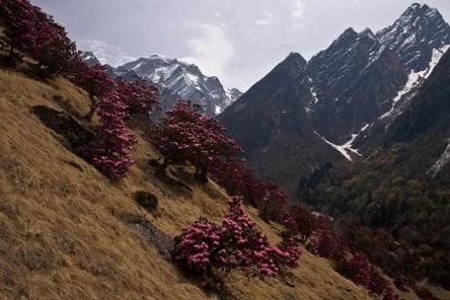 Rhododendron flowers near Bhyuandar Village and Hathi peak in background