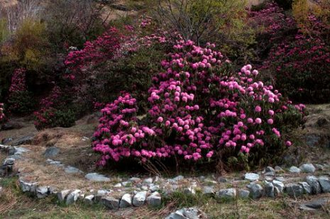 Rhododendron flowers near Bhyuandar Village