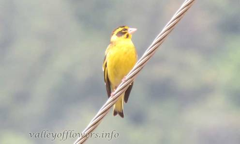 Yellow-breasted Greenfinch (Chloris spinoides)
