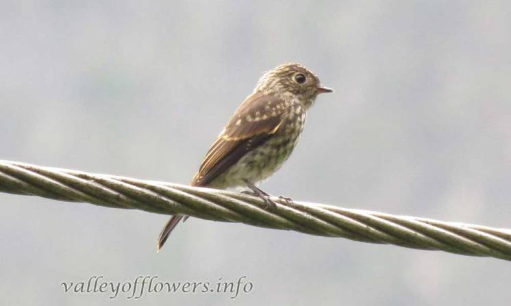 Bird found in Valley of Flowers
