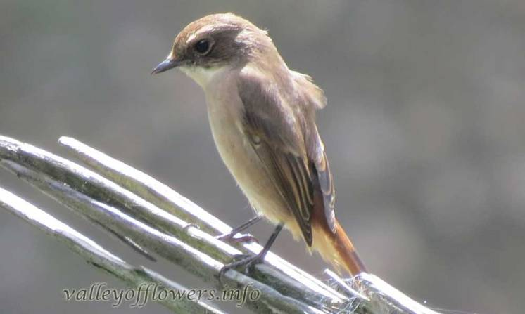 Dark-sided Flycatcher (Muscicapa sibirica)