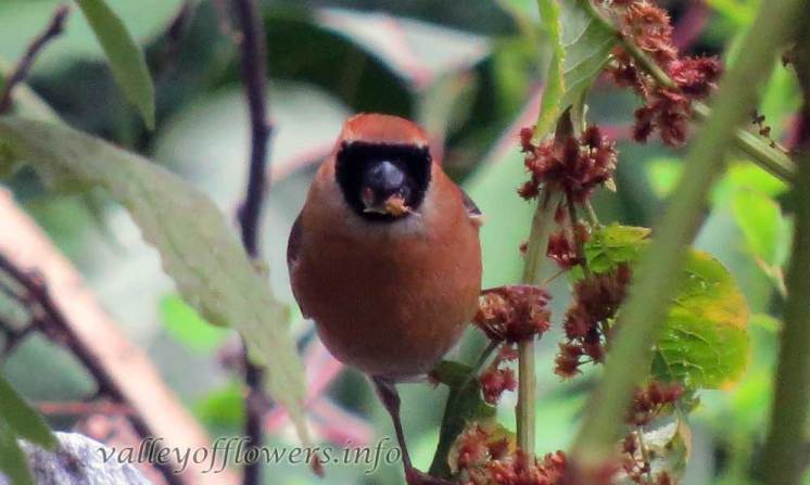 Red-headed Bullfinch (Pyrrhula erythrocephala)