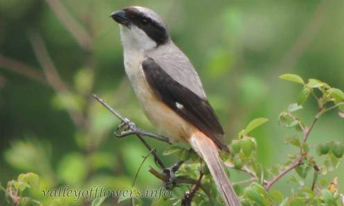 Grey backed Shrike (Lanius tephronotus)