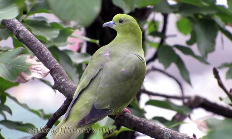 Green Pigeon in Valley of flowers