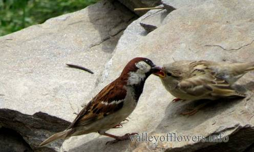 Male and Female House or Italian Sparrow (Passer [domesticus or italiae])