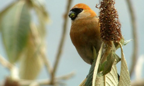 Red headed Bullfinch (Pyrrhula erythrocephala)