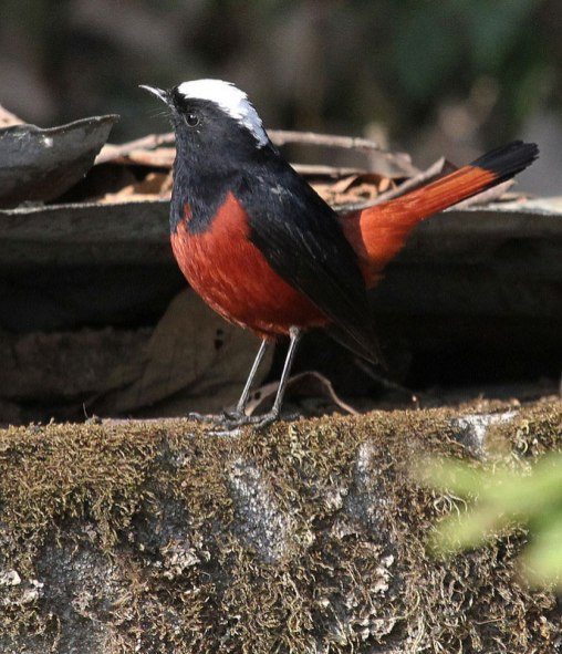 White capped Water-Redstart (Chaimarrornis leucocephalus)