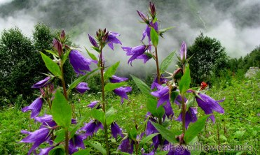Campanula Latifolia in Valley of Flowers