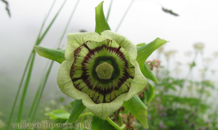 Codonopsis rotundifolia in Valley of Flowers