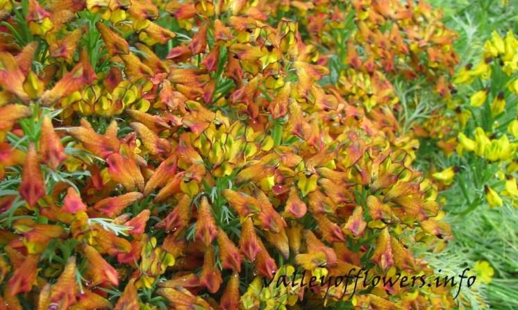 Corydalis meifolia