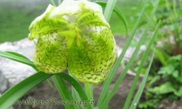 Fritillaria roylei