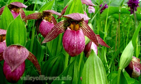 Himalayan Slipper Orchid