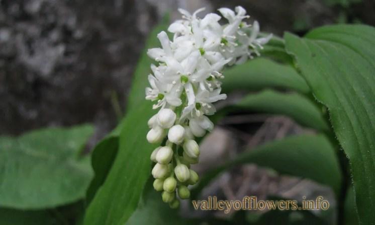 Mianthemum purpureum