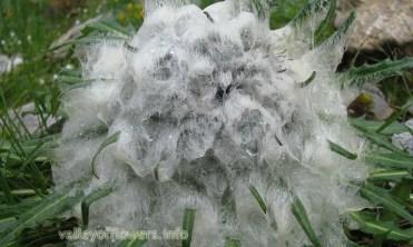 Saussurea gossypiphora