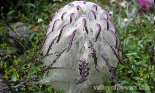Saussurea simpsoniana