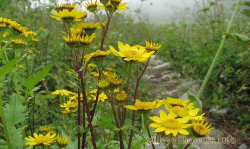 Senecio laetus in Valley of Flowers