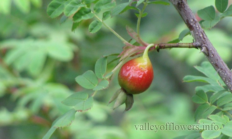 A bud of Wild Rose in Valley of Flowers