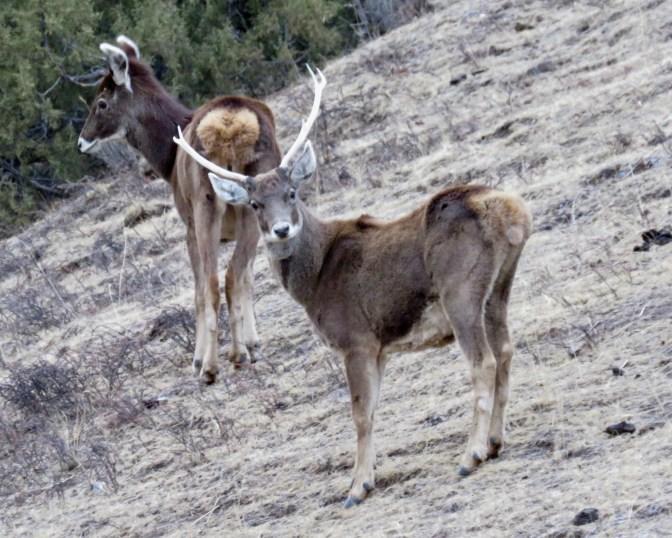 2017-04-14 White-lipped Deer pair