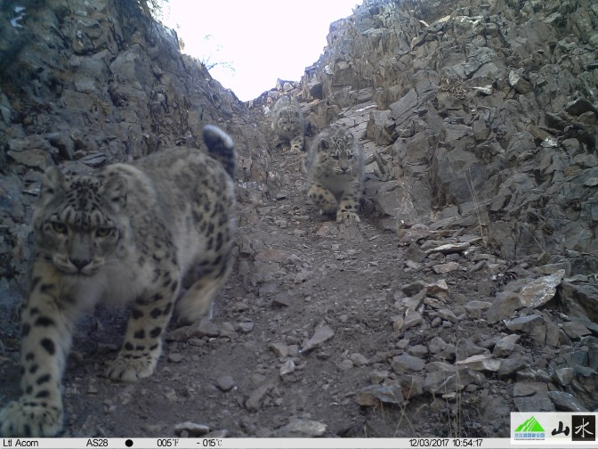 Snow Leopard - 3 youngsters