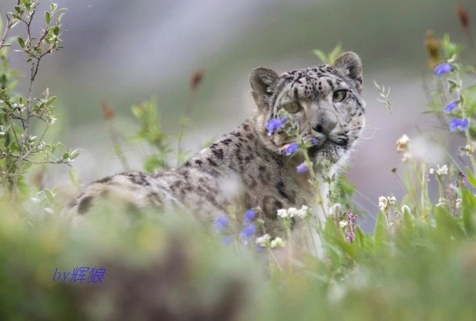 2018-07-24 Snow Leopard, Angsai by Hui Lang