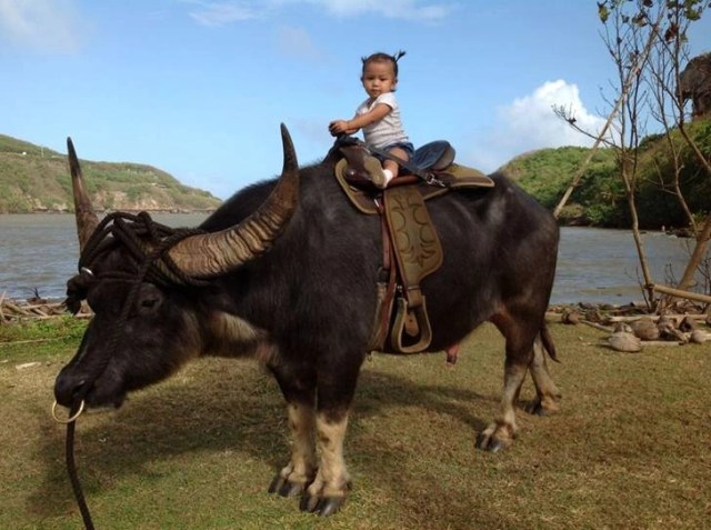 Little girl riding on top of a carabao