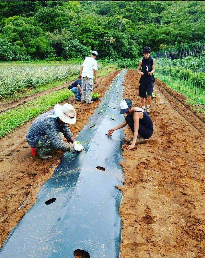 Rows of sustainable eggplant