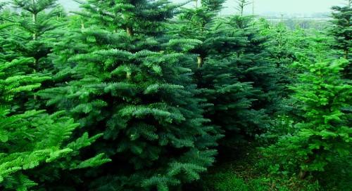 Noble Fir Christmas Tree Order Online