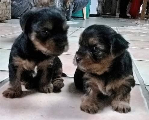 bébés chiens- ardeche-gite-vallon des etoiles