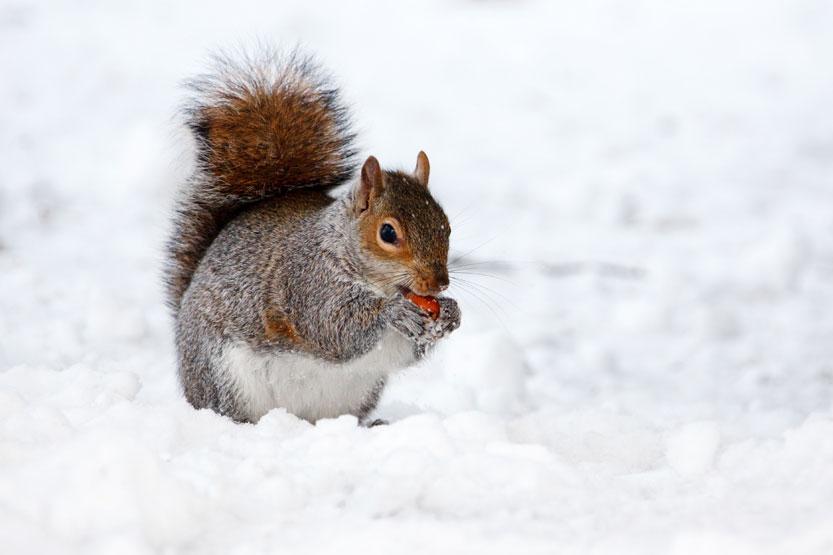orava syö pähkinen lumessa