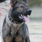 German Shepherd K9 training