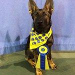 AKC Canine Good Citizen award
