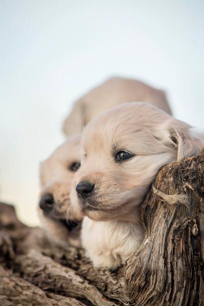 English Cream Golden Retriever Puppy Council Idaho