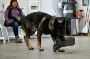 German Shepherd Clicker Tricks Training