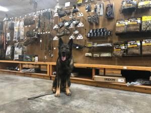 german shepherd dog at pet friendly store