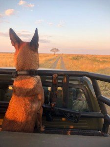 On patrol south africa malinois
