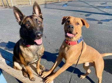 rottweiler pitbull boise rescue adoptable dog
