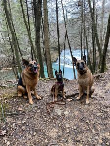 malinois and german shepherd
