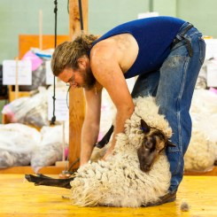 Sheep getting a haircut