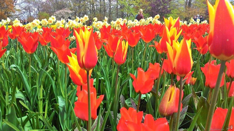 campos de flores da Holanda