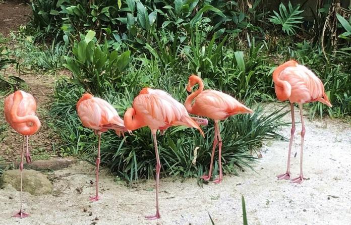 Flamingos no Zoológico de São Paulo