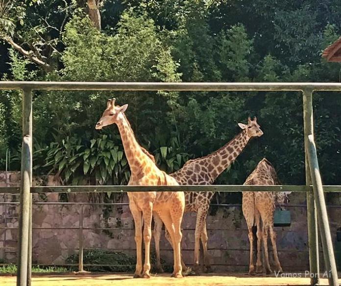 Zoologico de São Paulo - girafas