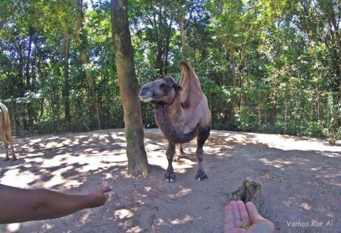 Camelo - zoo safari