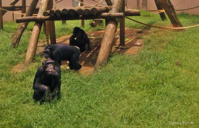 Macacos do Zoologico de Sao Paulo