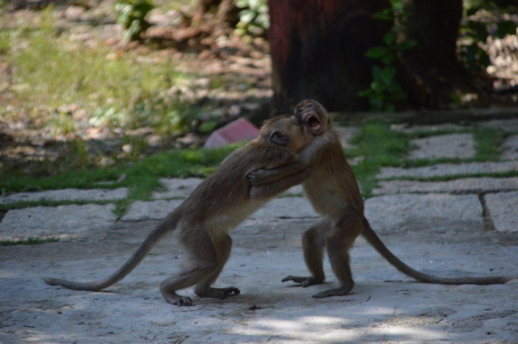 Khỉ đuôi dài Vàm Sát